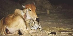 cow-tiger-friendship-2