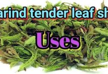 Tamarind Tender Leaf Shoots Uses
