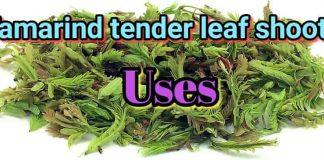 Tamarind Tender Leaf Shoots Uses