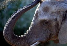 Man kidnaps 'his own' elephant from Forest Officials
