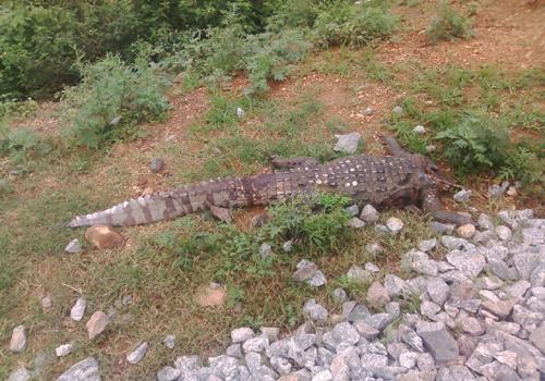 crocodile dead by train