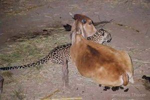 cow-tiger-friendship-3