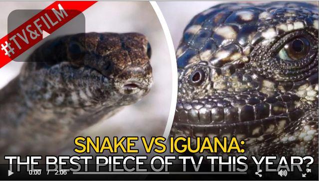 snakes group chase iguyana