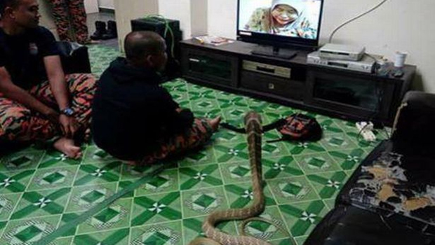 a thailand man married snake