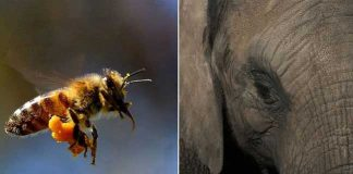 These 'honey bees' prevent hundreds of elephants from dying!