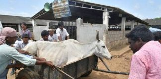 Special Investigation Team assigned over deceased cows in Vijayawada