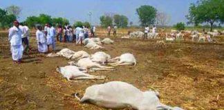 Tadepalli: 100 cows died at the goshala