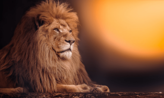 Bengaluru Zoo to gift lions to safari